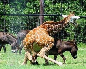 Esta es la jirafa de Martin, bien domesticada ella